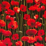 Poppies - Black
